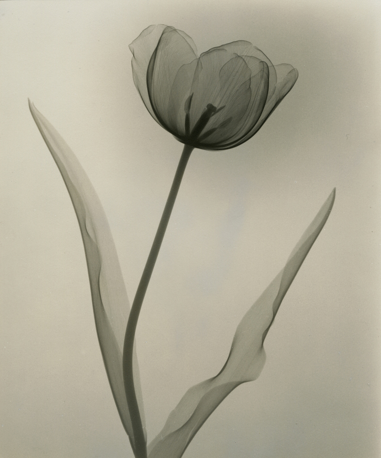 A radiologists x ray photographs of flowers from the 1930s 1930s tasker tulip 1931 izmirmasajfo