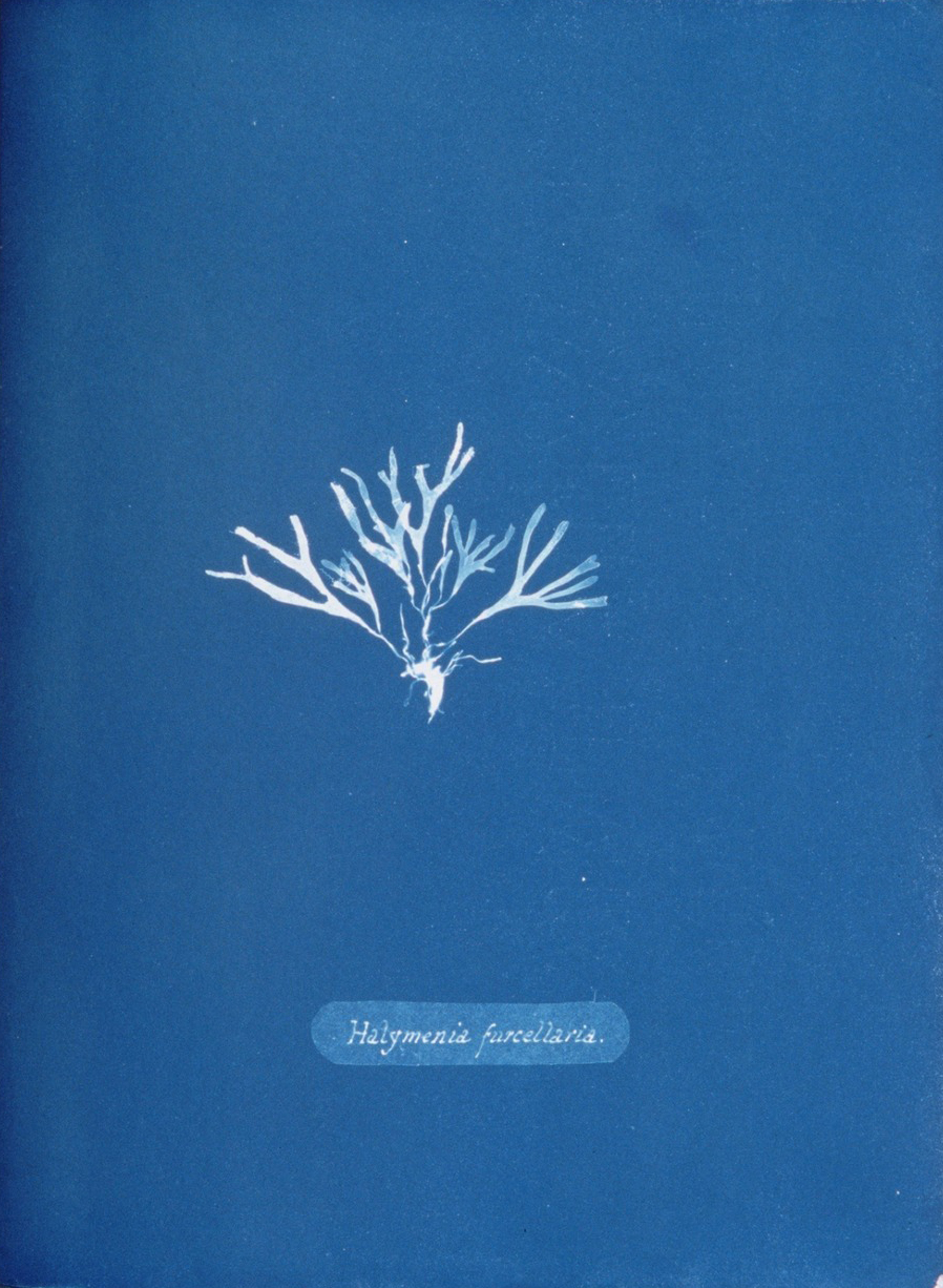 Page from 'Photographs of British Algae' (1843) by Anna Atkins