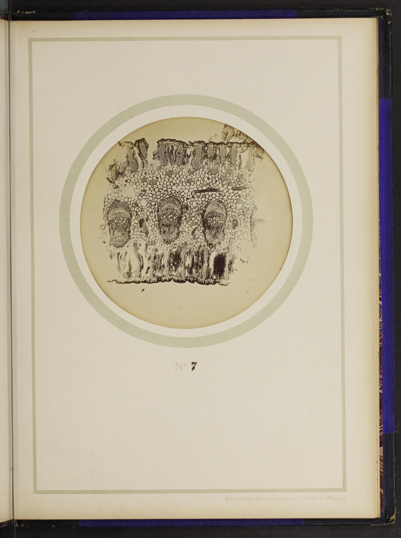 """From the 1898 German text on plant anatomy, """"Mikro-photographien nach botanischen Präparaten"""""""
