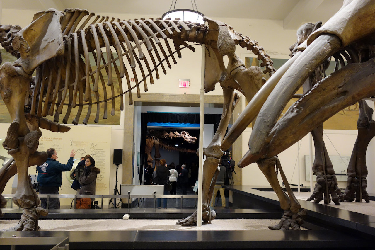 The Titanosaur at the American Museum of Natural History