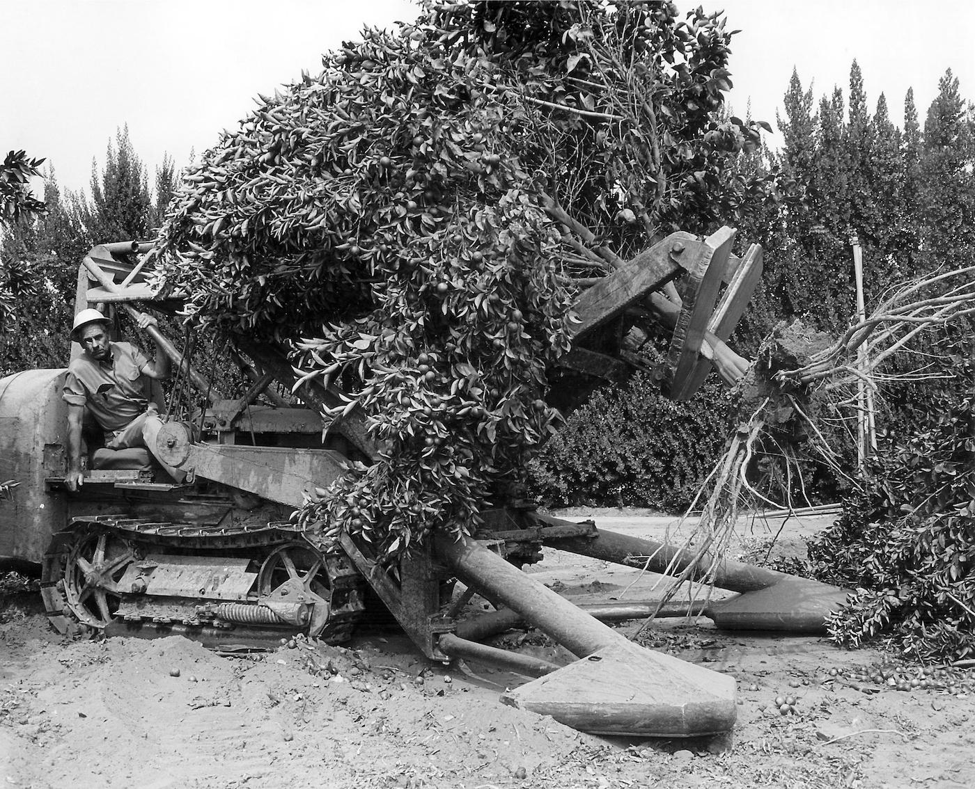 Weldon Field uprooting an orange tree (courtesy Yale University Press)