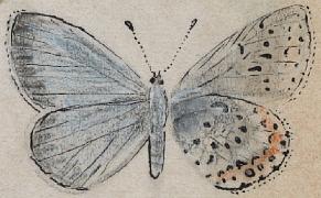 Post image for Vladimir Nabokov's Scientific Butterfly Illustrations
