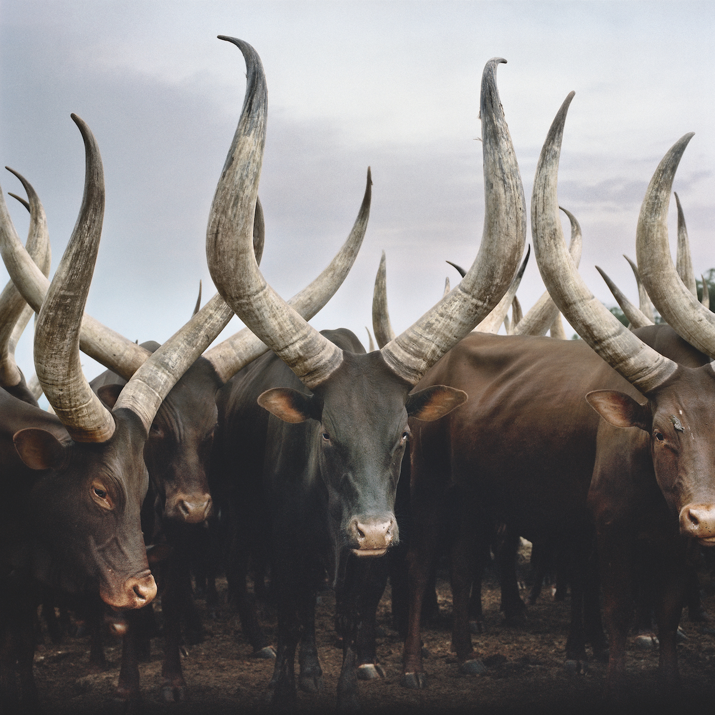 Group of Ankole cattle. Kiruhura district, Western Region, Uganda, 2012.