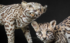 Post image for Terrible Taxidermy from When Exotic Animals Were Unknown in the West