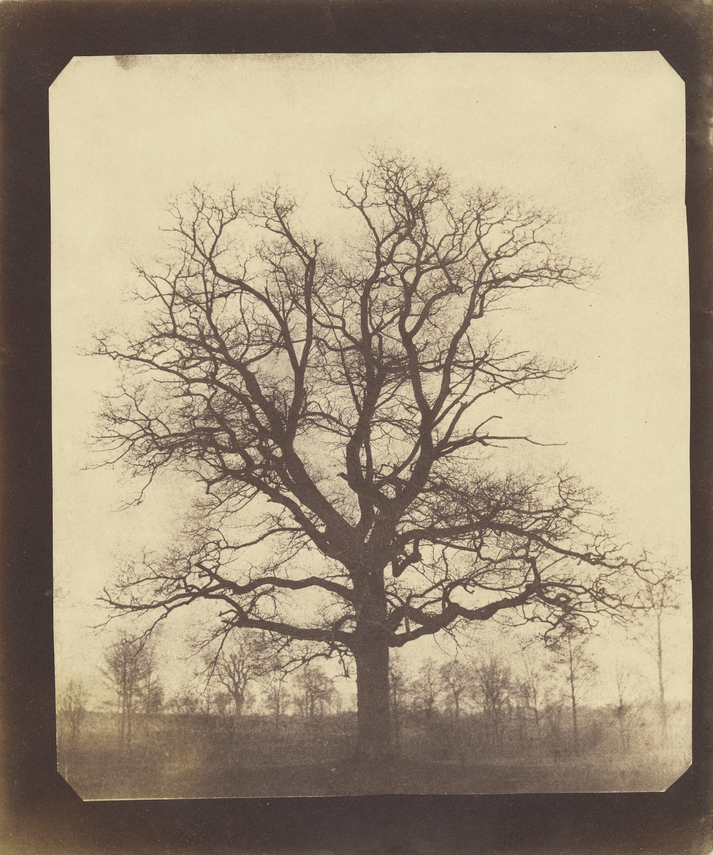 An Oak Tree in Winter; William Henry Fox Talbot (English, 1800 - 1877); probably 1842 - 1843; Salted paper print; 19.4 x 16.6 cm (7 5/8 x 6 9/16 in.); 84.XM.893.1