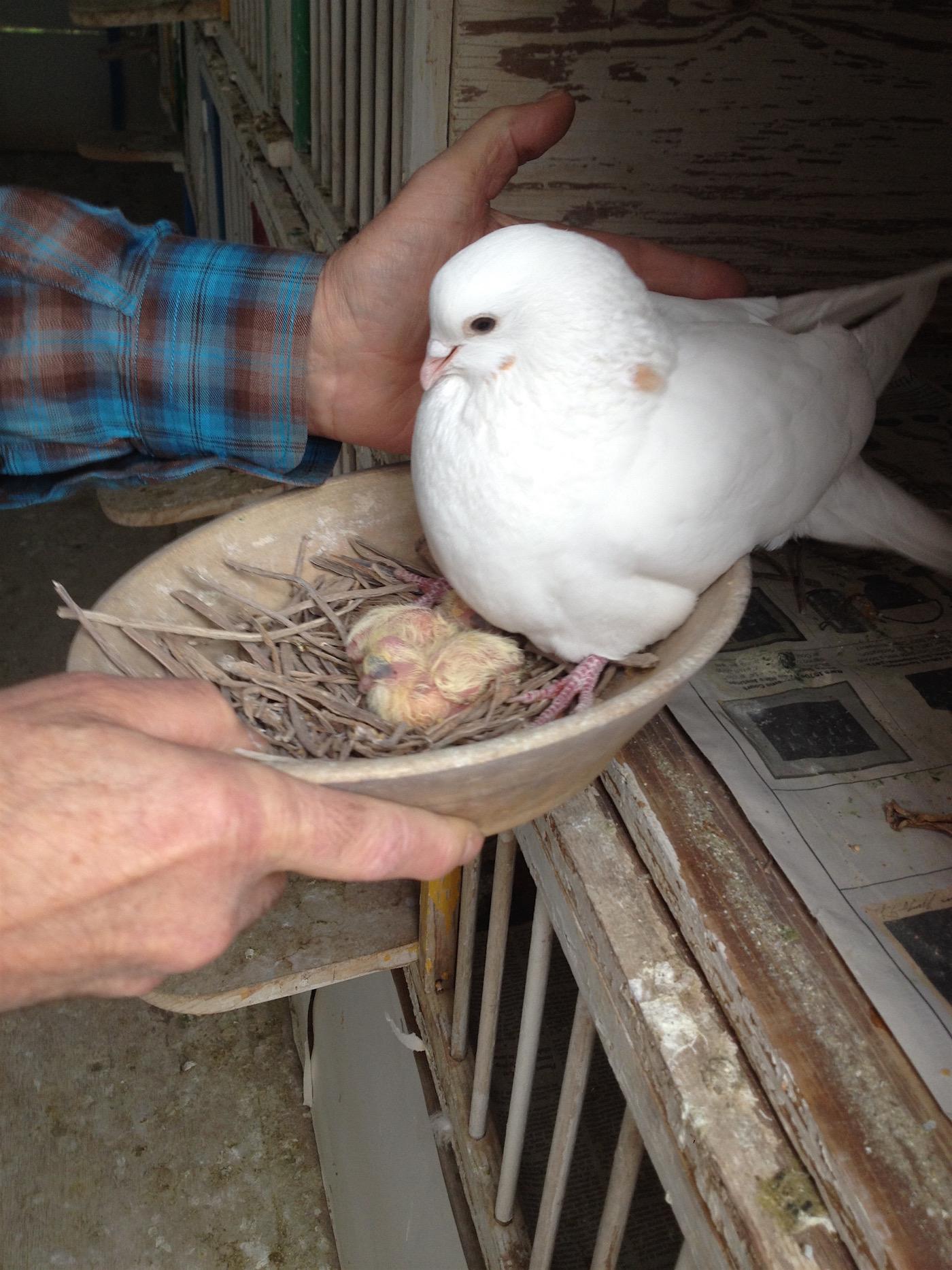 Anton van Dalen_Pigeon and chicks