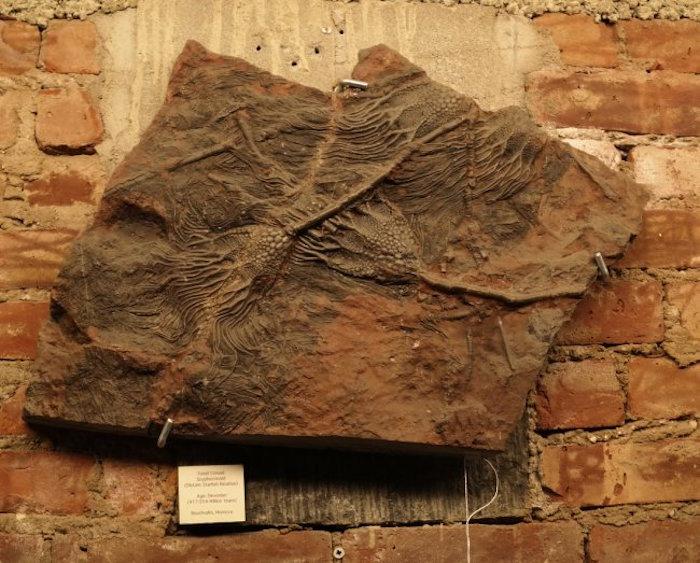 Fossil, Crinoid Scyphocrinoid, Est 900-2500, Start 500