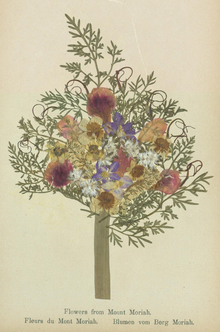 Specimens from 'Flowers of the Holy Land' (courtesy Thomas Fisher Rare Book Library, University of Toronto)