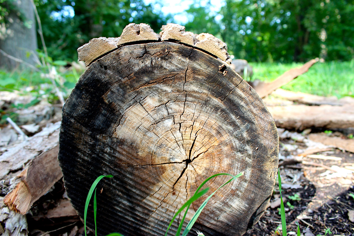 You can chart this tree's history by its rings, but only Kathy Leisen can tune you into what it has to say.