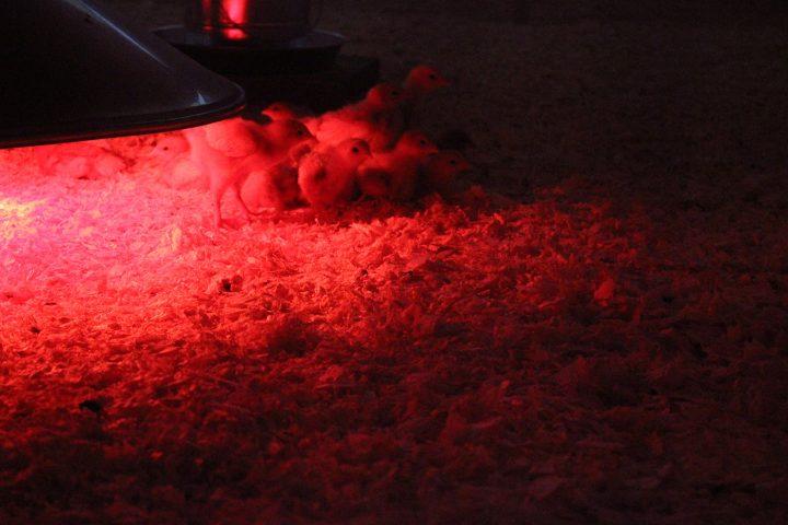 The Detroit-Cosmopolitan flock's first members, under warming lights in the nursery.