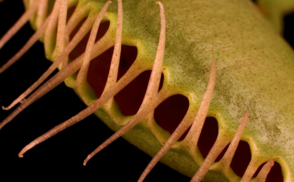 carnivorousplantsfeatured