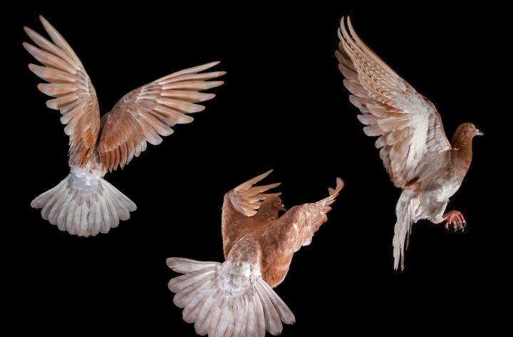 Jana In Flight, From U0027The New York Pigeonu0027 By Andrew Garn, Published By  PowerHouse Books. U201c