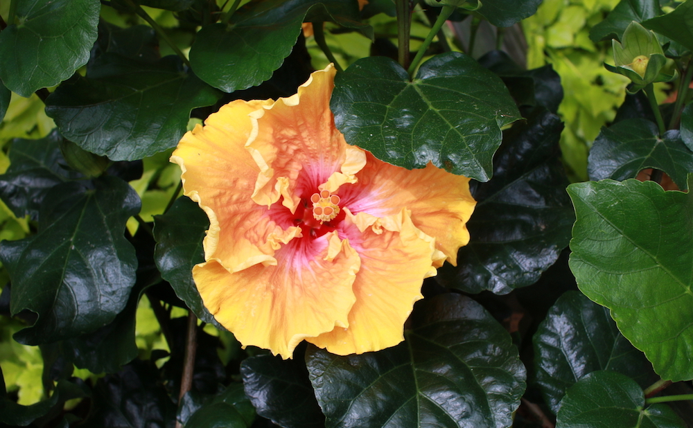 Closeup of a Hibiscus, Hawai'i's official state flower