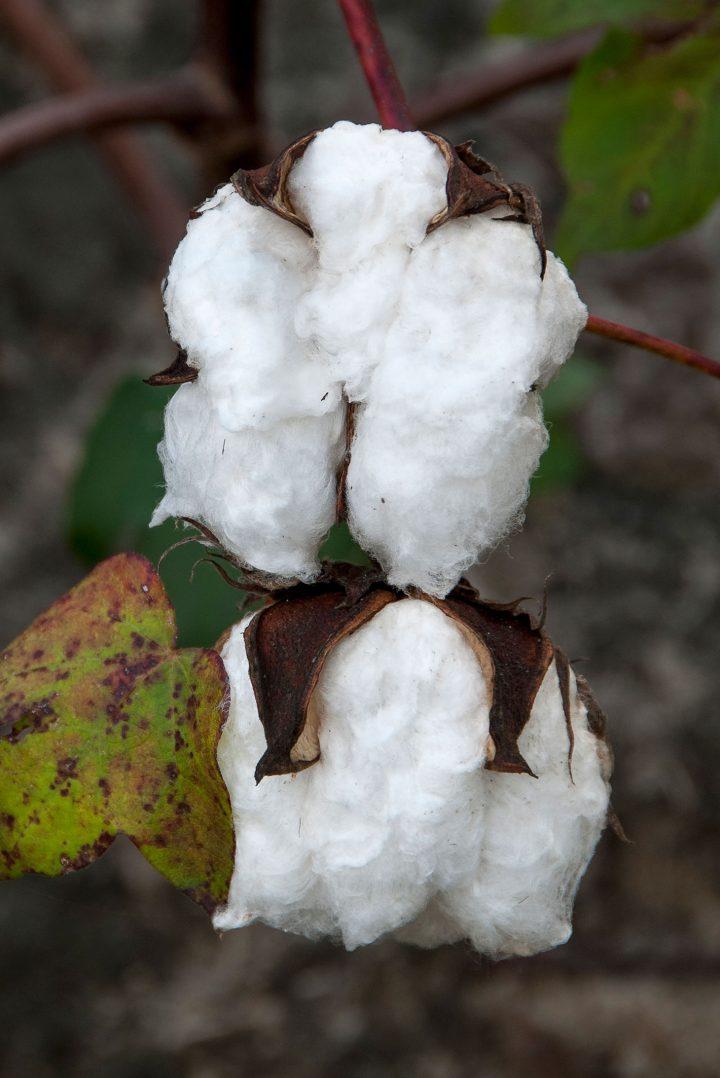 """John E. Dowell, """"It's Just Cotton"""" (image courtesy John E. Dowell)"""